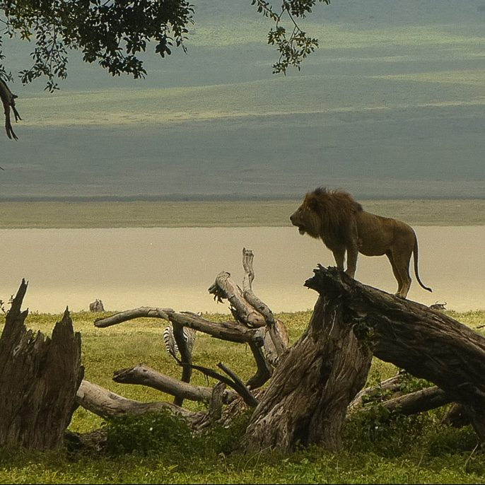 Lion in the Ngorongoro Crater, East Africa, Safari